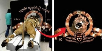 How many lions were involved in creating the MGM logo?