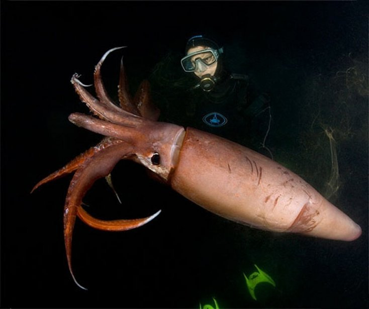 The longest squid found in warm waters... 1