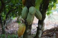 Cacao trees can live up to 200 years
