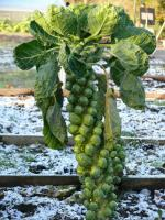 6. Brussels sprouts